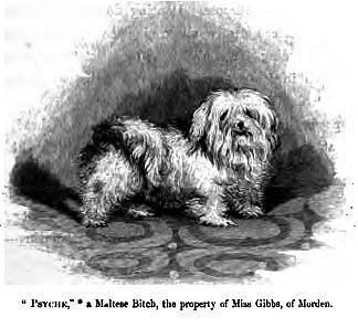 Malteser Hund Zeichnung von 1859.