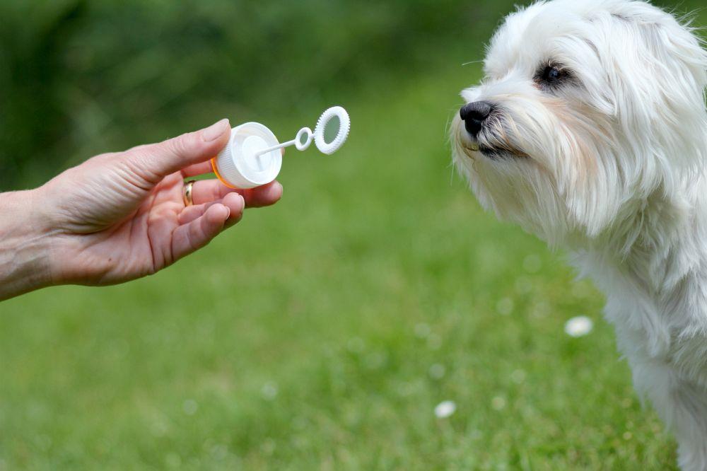 Malteser Hund