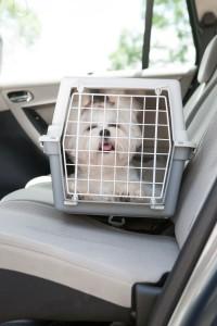 Malteser im Auto Hundebox