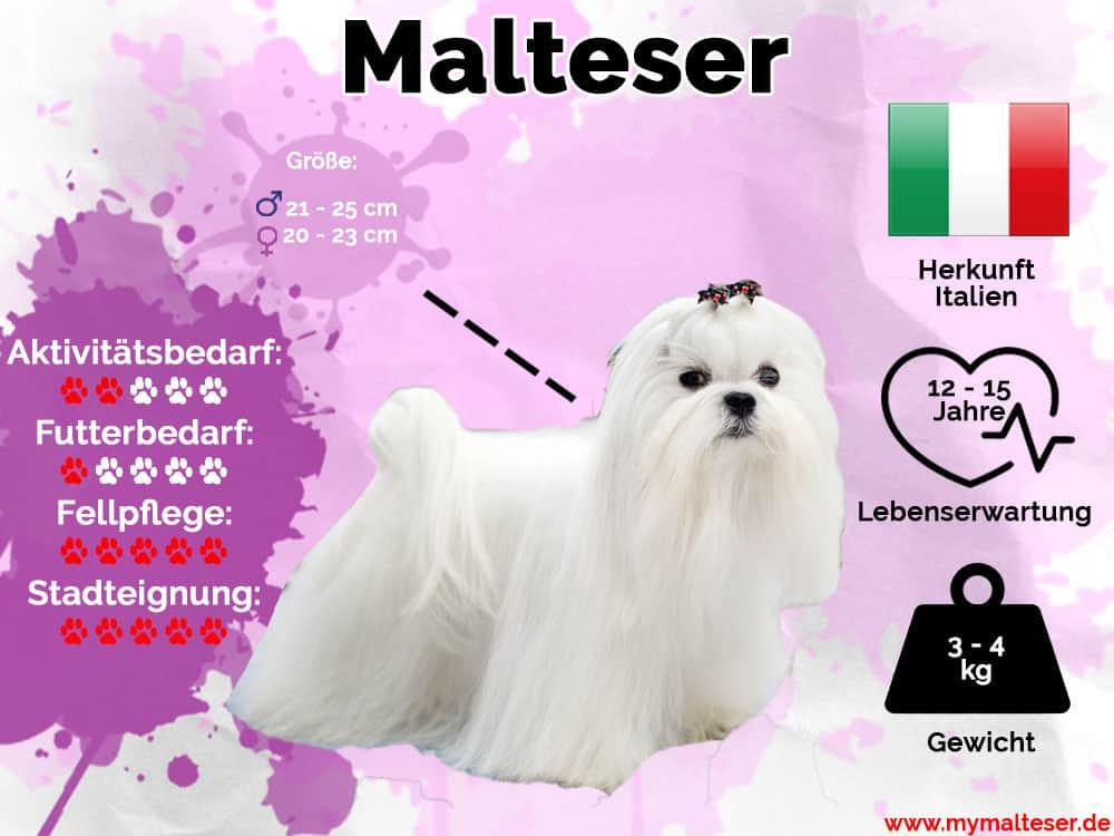 Malteser Hunderasse Infografik