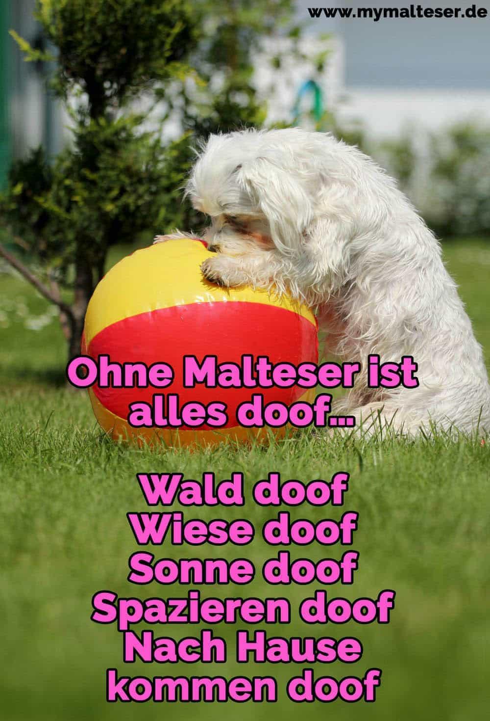 Ein Malteser spielt mit dem Ball