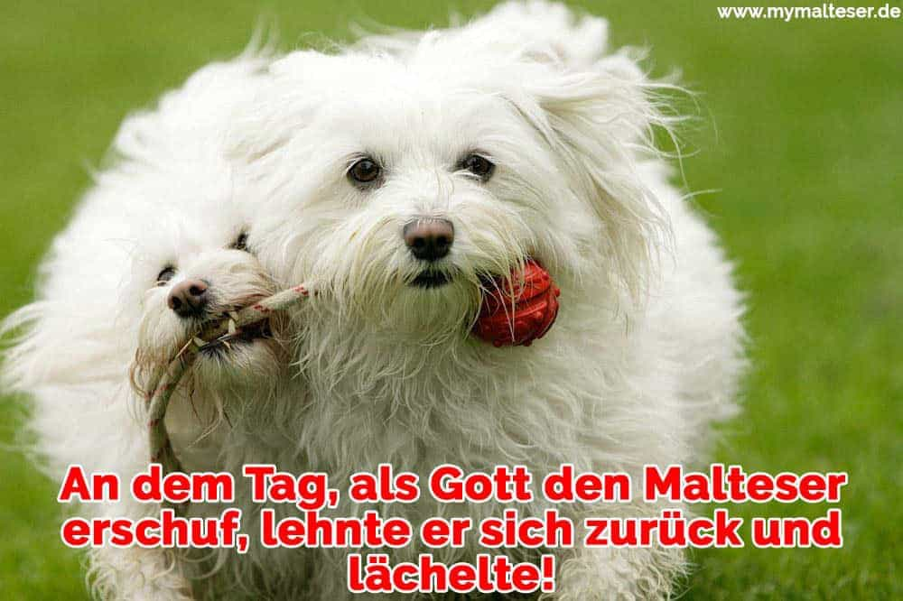 Zwei Malteserns spielen