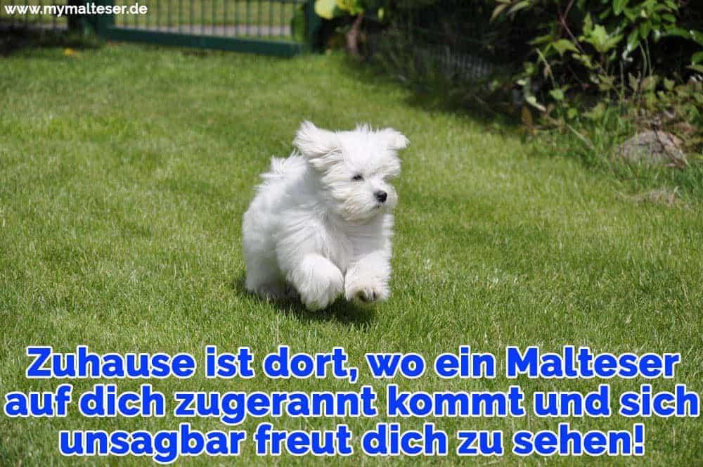 Ein Malteser läuft auf dem Rasen