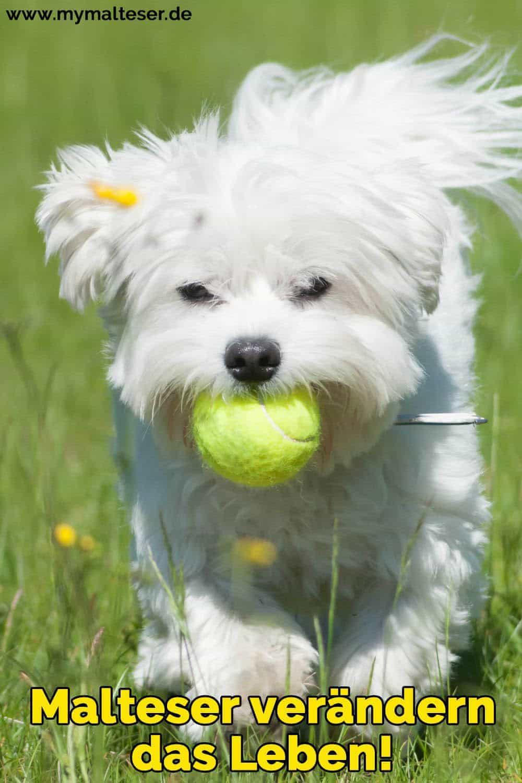 Ein Malteser spielt mit einem Ball