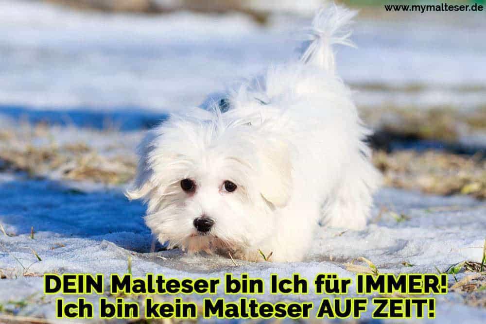 Ein Malteser im Schnee